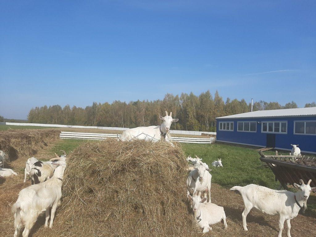 Коза для морковки или морковка для козы?