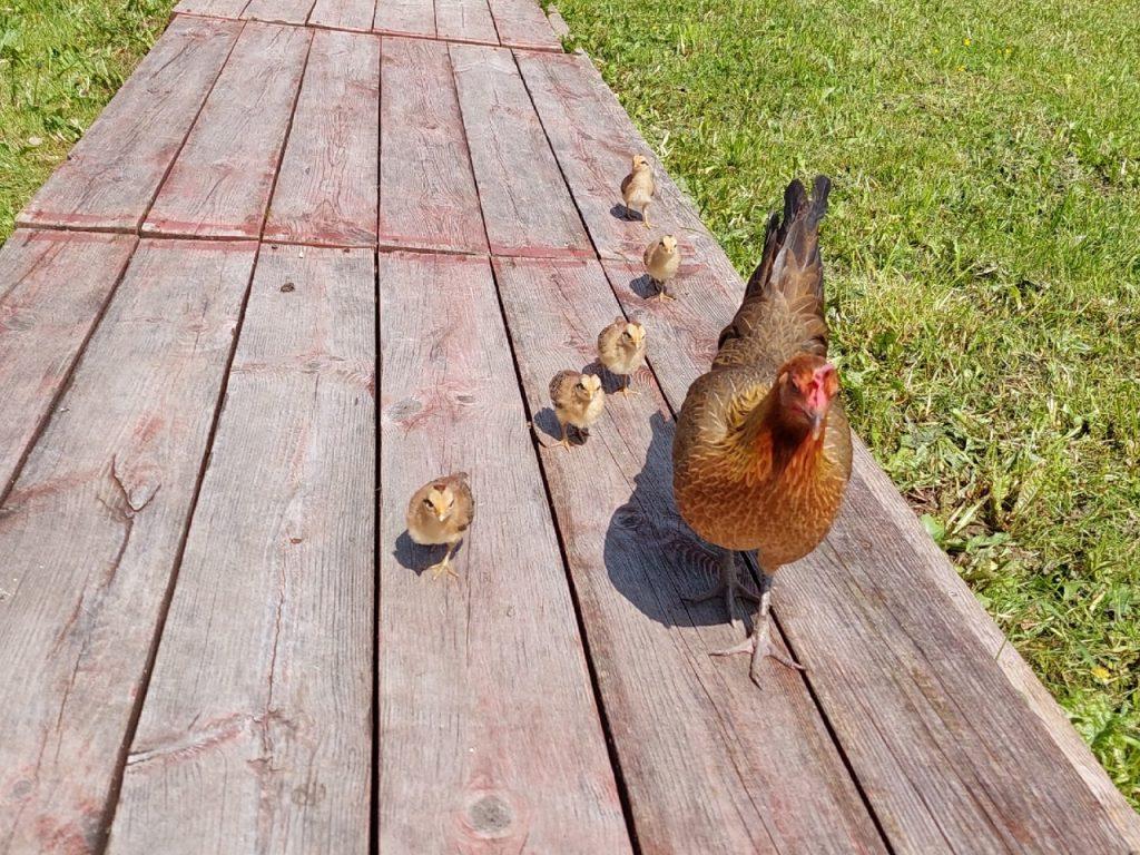 А у кур - цыплята!
